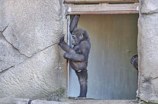 gorillayoga
